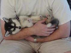 Alaskan Klee Kai Mini Husky   Alaskan Klee Kai ou Mini Husky - LE BLOG DU SHIBA INU ET DES CHIENS ...