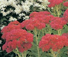 "Sedum ""Autumn Joy"" - does great in Zone 6. Great all-season flower & the butterflies / bees love them. Green ""cauliflower"" florets in spring, turning pink in Summer and finally deep red in Fall. Also, great winter interest. #sedum #flowers WANT TO PIN TO OUR GROUP BOARD READ INFO HERE: http://www.pinterest.com/earthwormtec/gardeners-top-picks-flowers/"
