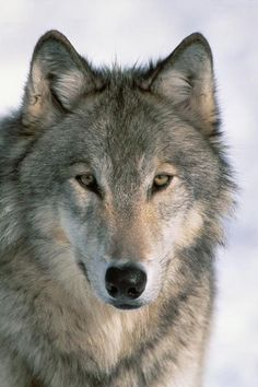 Wolves make great villains. They have threatened fictional characters from Little Red Riding Hood to the Three Little Pigs. In actuality, as humans have persecuted wolves for centuries, most wolves fear humans and avoid encounters. Wolves are undoubtedly capable of killing humans, but statistically speaking, the threat is negligible.
