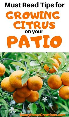 Awesome Tips For Growing Citrus In Pots On Your Patio. In the event that You Live In A Zone That Is Too Cold, Here Is How To Grow Orange And Lemons Trees In Planters. They Are Beautiful And Smell Amazing. Citrus Trees, Fruit Trees, Fruit Garden, Edible Garden, Garden Pots, Container Gardening, Gardening Tips, Bucket Gardening, Vegetable Gardening