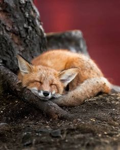 this photo of a young fox taking a nap is so beautiful. Animals are precious. Beautiful Creatures, Animals Beautiful, Cute Animals, Happy Animals, Beautiful Images, Funny Animals, Young Fox, Friendly Fox, Wild Animals Photography