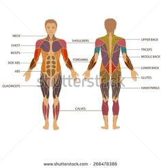 interesting facts about muscle and human body | human body, Muscles