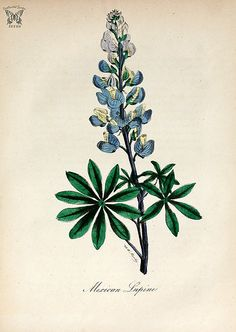 Mexican Lupine, Lupine. (Lupinus perennis). The American flora vol. 3 (1855)