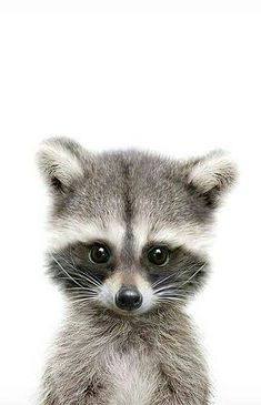 BABY RACCOON!