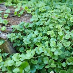Creeping Charlie. Type: Broadleaf perennial    Size: 4 inches tall, several feet wide    Where it grows: Shady lawn, landscape, or garden areas    Appearance: Groundcover with scalloped leaves and clusters of purple flowers in late spring.    Control: Mulch garden areas in spring to prevent it; pull plants by hand or spray with a post-emergence herbicide in spring or fall.