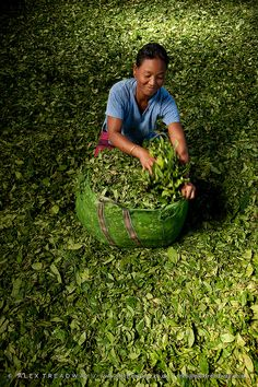A woman packs dried tea leaves in a tea factory