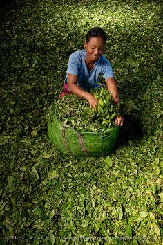 A woman packs dried tea leaves in a tea factory