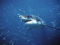 Great White Shark- one of the worlds most impressive predators, over hunted for its teeth and meat