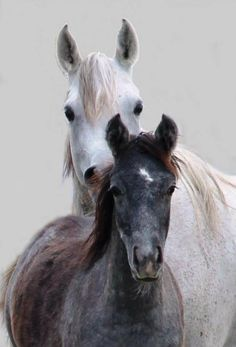 beautiful white horse and black foal