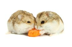 Image result for pics of hamsters