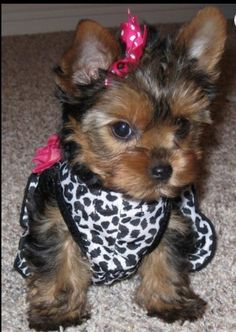 Baby Girl Teacup Yorkie My Future Puppy Pinterest
