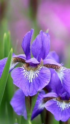 irises, flowers, petals, lilac