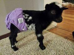 Baby Nigerian dwarf goat in a diaper! - Kutabays Cattery - Baby Nigerian dwarf goat in a diaper! Baby Nigerian dwarf goat in a diaper! Mini Goats, Cute Goats, Baby Goats, Cute Baby Animals, Diaper Animals, Animal Babies, Pigmy Goats, Goat House, Nigerian Dwarf Goats