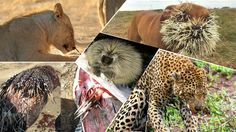 MOST AMAZING Porcupine Kills Python, Leopard - Porcupine vs Lion, Anacon...