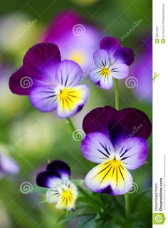purple and blue pansy plant | Beautiful yellow purple blue violet pansies flower plant.