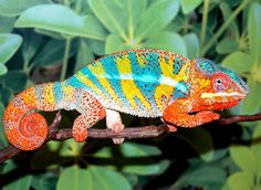 Endémique de Madagascar, le caméléon panthère dont il existe de nombreuses…
