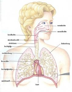 Uit welke organen bestaat het ademhalingsstelsel en welke taak heeft elk van deze organen?