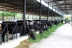 Dairy Farm | while godrej agrovet did not respond to an email query from business ...