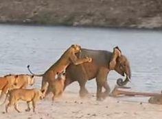 GOTN: Νεαρός ελέφαντας δέχεται επίθεση από 14 λιοντάρια ...