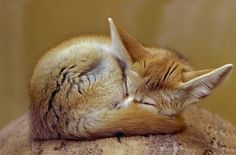 Der Fennek (Vulpes zerda, früher Fennecus zerda) oder Wüstenfuchs