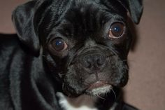 Charlie the bugg (Boston terrier and pug mix)