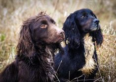 working cocker spaniels
