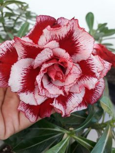 Unique Flowers, Exotic Flowers, Amazing Flowers, Beautiful Roses, Colorful Flowers, Beautiful Flowers, Desert Rose Plant, Virtual Flowers, Flower Images