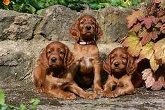 Irish Setter puppies for sale | Kilmarnock, Ayrshire ...