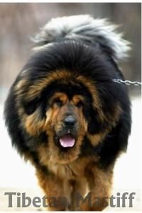 wouldn't stand a chance in AZ with all that hair. Tibetan Mastiff Dog, Mastiff Dogs, Unusual Dog Breeds, Large Dog Breeds, Dogue Du Tibet, Giant Dogs, Adorable Dogs, Cane Corso, Leopards
