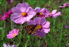 butterfly on flowers photo: Flowers Fantasia001ras0115