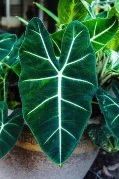 Punhal malaio – Nome cientifico: Alocasia amazonica.