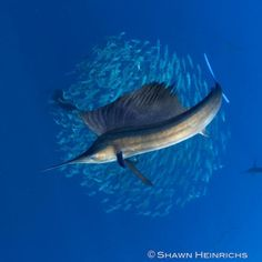 Sailfish are the World's fastest fish and swim as fast as cheetahs run. They are also amazing hunters. #Oceans #OceanTrivia #AmazingFacts