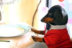 crusoe the dachshund on dinner date