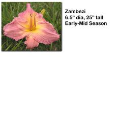 """Zambezi"" daylily $4.50 per double fan at Smithdaylilies.com"