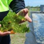 Japanese cooking and aquaculture wastewater might not seem like they belong together – but a north Queensland prawn farmer has found the link. Alistair Dick farms prawns near Ayr in north Queensland, where he's developed an algae pond to treat wastewater.