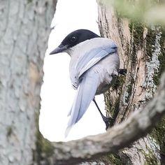 長い尾っぽのオナガさん  #尾長#オナガ#azurewingedmagpie#longtailed #鳥#bird#野鳥#Wildbird#birdwatching #小鳥#pocket_birds #動物#animal #かわいい#kawaii#cute #風景#自然#景色#picture#landscape#nature #東京#tokyo#日本#japan#love#loves_nippon #写真好きな人と繋がりたい #一眼レフ