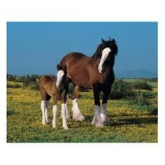 all about the Budweiser Clydesdales