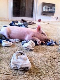 """Miss my pig! She loved to play in the dirty laundry and would drag it over to the laundry room for her. She thought it was her """"job"""""""