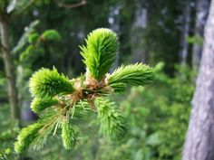 Recipe for spruce syrup Spring Treats, Edible Wild Plants, Homestead Gardens, Cough Syrup, Edible Food, Wild Edibles, Believe In Magic, Grow Your Own Food, Natural Cures