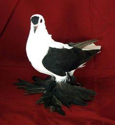 Muffed Saxon Swallow Pigeon