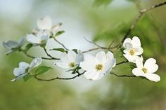 ideas for white dogwood tree tattoo Dogwood Trees, Dogwood Flowers, White Flowers, Flowering Trees, White Roses, Oscar Wilde, Tree Branch Tattoo, Branch Art, Tattoo Tree