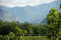 Our vineyard Sottobosco #franciacorta #wine #vino
