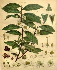 Tea Leaves Botantical Drawing
