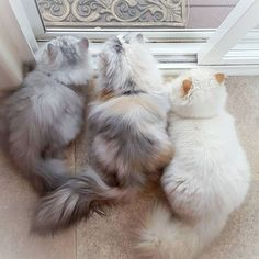 land-like-a-cat:  Three fluffs spending Caturday waiting for squirrels…