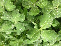 raindrops on crimson clover leaf