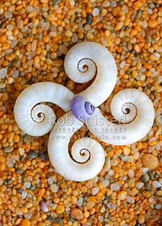 Ram's-horn-shell from a Ram's-horn-Squid