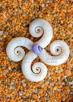 Seashells on sand in pattern. Ram's horn shell from Ram's horn squid (Spirula spirula) with Glossy Violet Snail; Purple Sea Shell (Janthina (Violetta) globosa). New Zealand beach, New Zealand (NZ).