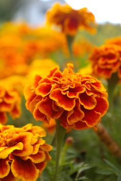Marigolds - Mom's favorite flower - everywhere she went she'd collect dried marigold flowers and plant them at home on the side hill.