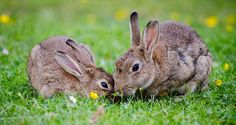 Can Rabbits Eat Grass?