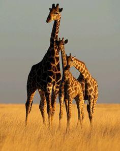 Giraffes at Namibia, Africa. BelAfrique your personal travel planner - www.BelAfrique.com